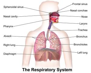 Blausen 0770 RespiratorySystem 02 (Lizenz: CC BY 3.0 BruceBlaus - Own work)